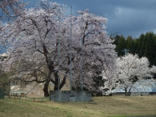桜 グラウンド