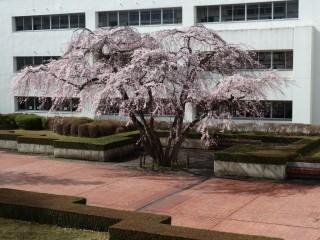 桜 赤レンガ